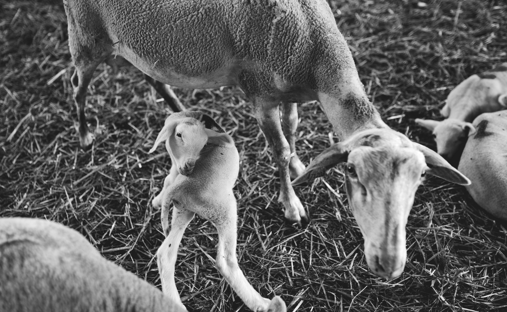 pays-de-fayence-villages-perches-chez-daniel-marin-agneau