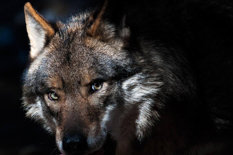 parc-alpha-vesubie-meute-loup