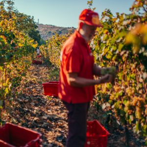 CCItalienne-Ligurie-Vendanges-dans-les-vignobles-pigato-autour-d'Imperia