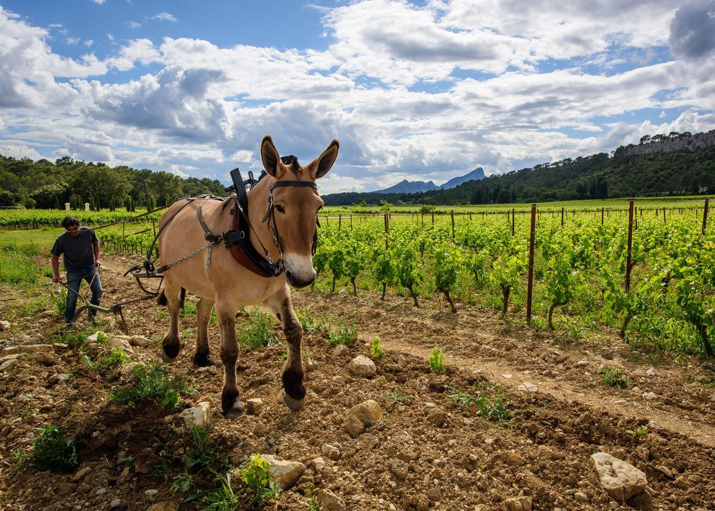 sudnly-chateau-la-roque-fontanes-cheval-labour-vignes